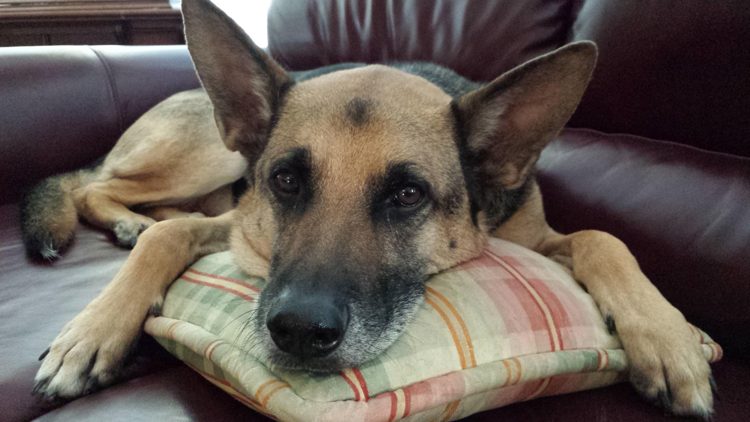 Praise for Fritz, my 5 yr old German Shepherd!!-20130925_174309.jpg