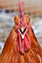 Avatars-angry-chicken-focussing-head-30109721.jpg