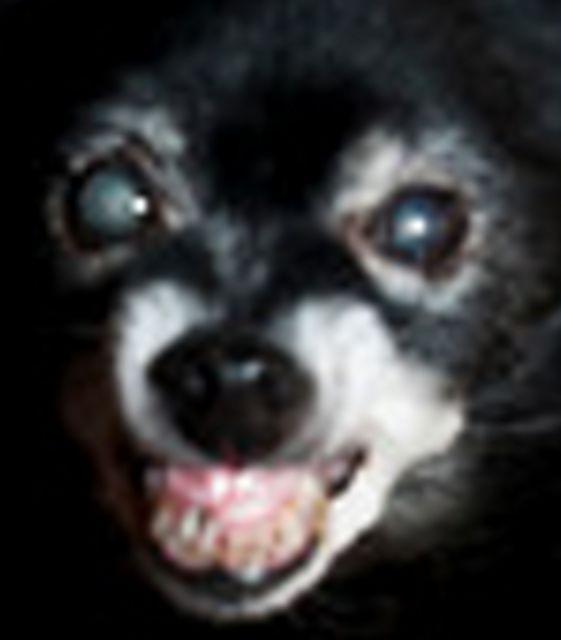 My Attack Chihuahua-attack-chihuahua.jpg