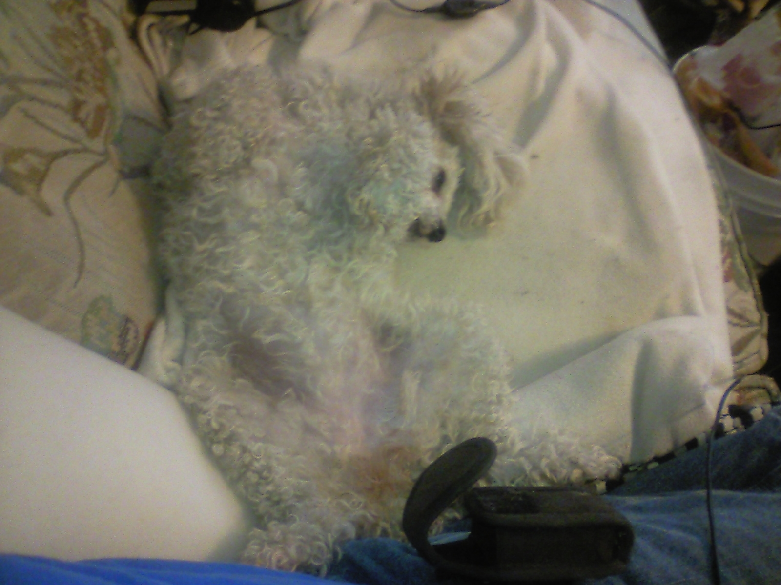 How About A Pet Picture Thread: Dogs, Cats, ...-attackpoodle-ready-.jpg