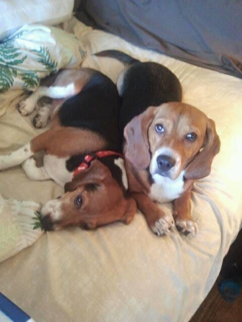 Doggie doors, no deadbolts, glass doors...-beagles.jpg