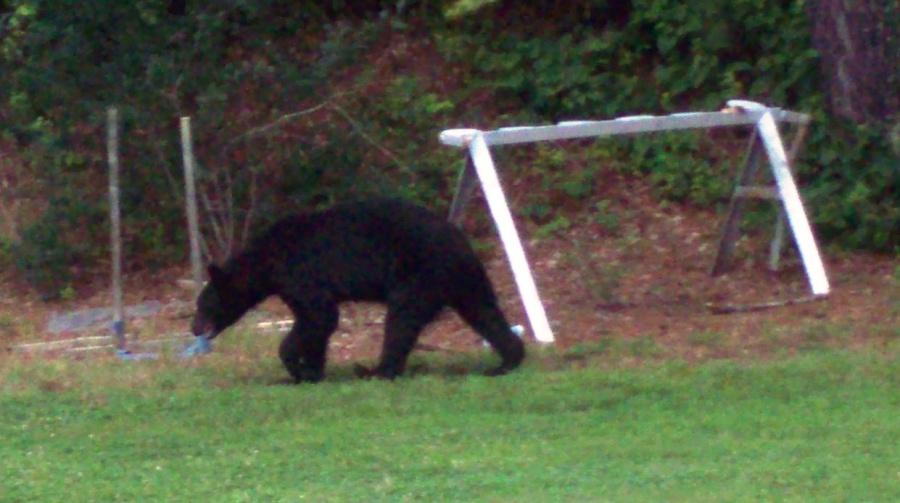 Sidearm for Bears-bear-1.jpg