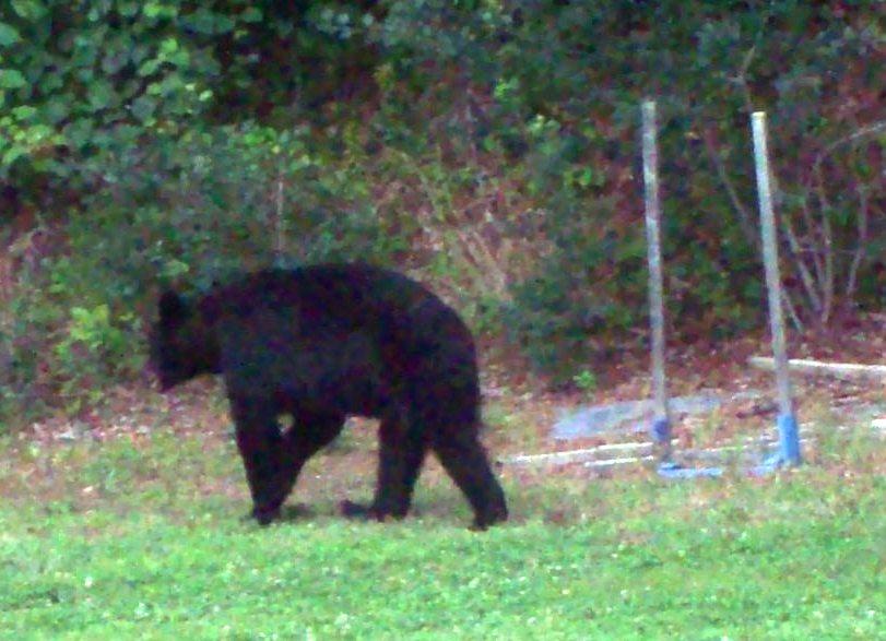 Sidearm for Bears-bear-2.jpg