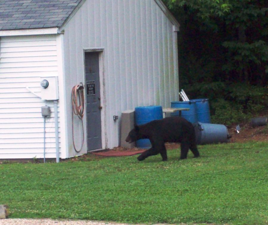 Sidearm for Bears-bear3.jpg