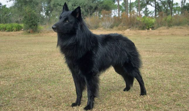 Trying to use an analogy on my liberal friends-belgian-sheepdog.jpg