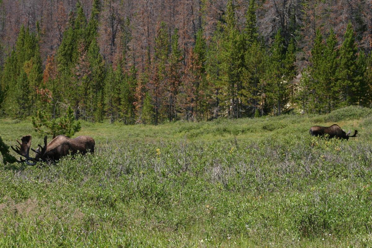 Rounds for predator defense?-bull-moose-x-2.jpg