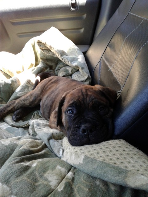 How About A Pet Picture Thread: Dogs, Cats, ...-bullmastiff1.jpg