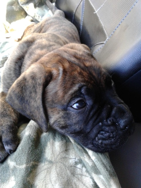How About A Pet Picture Thread: Dogs, Cats, ...-bullmastiff2.jpg