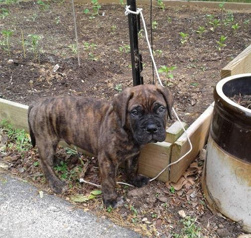 How About A Pet Picture Thread: Dogs, Cats, ...-bullmastiff3.jpg