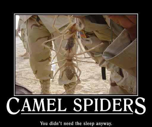 My unwanted houseguest-camel-spiders.jpg
