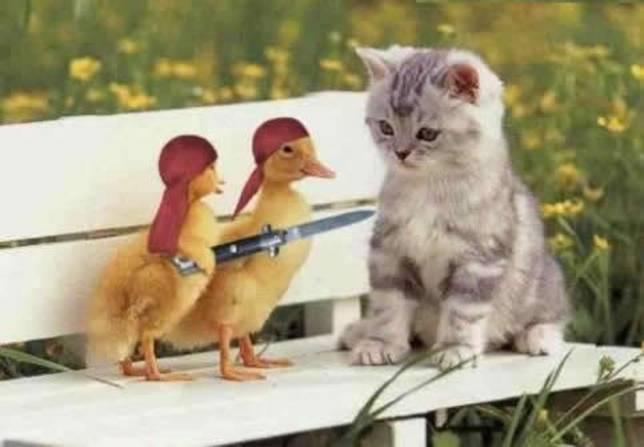 When you go to the indoor range...-cat-hostage-duck-cute.jpg