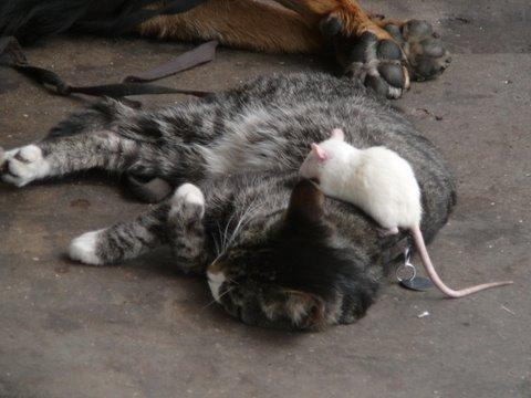 The Dog, The Cat, & The Rat-catrat.jpg