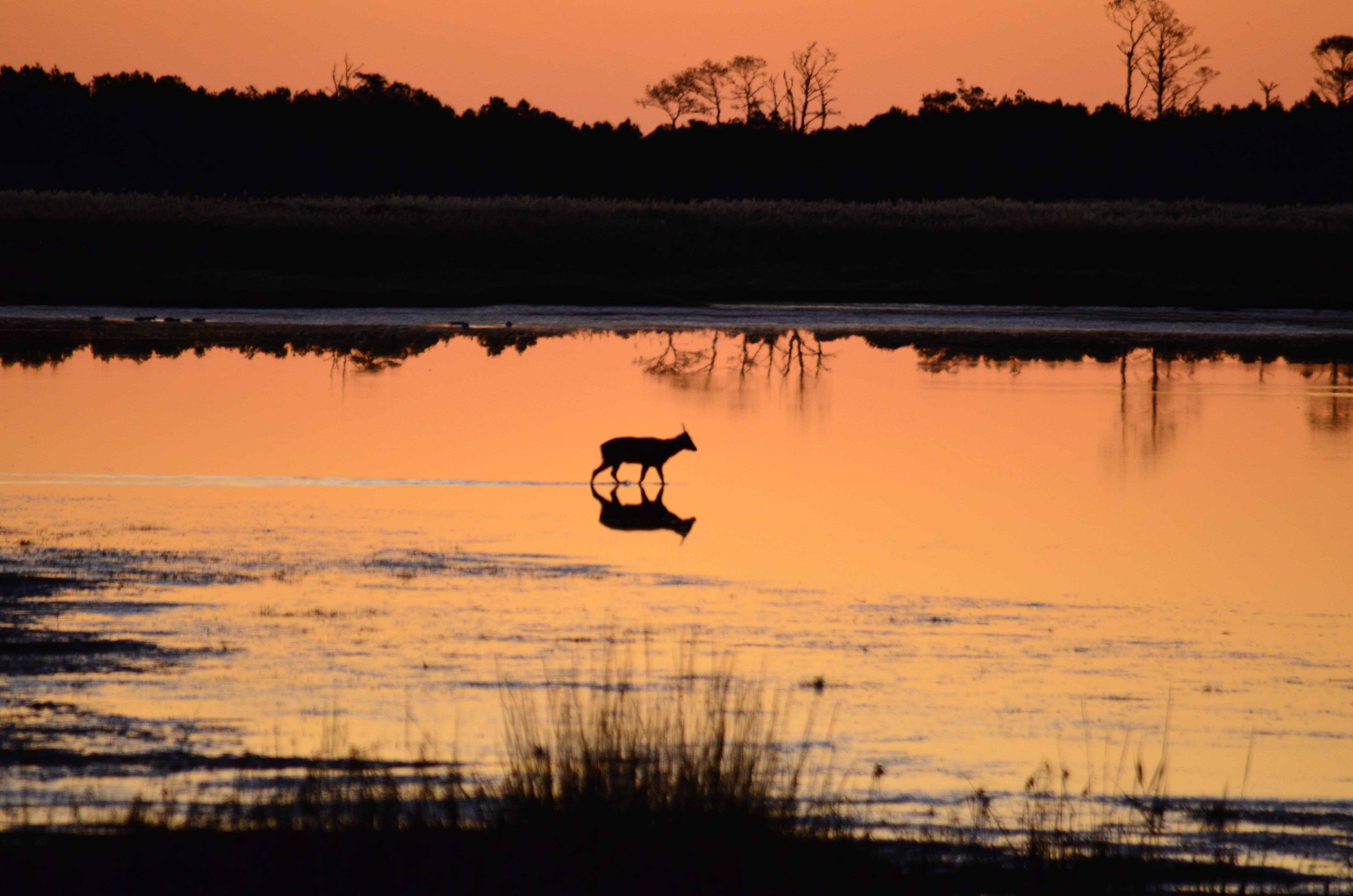 Post pics you like to take.  Vacation, home and so on.-chincoteague-deer.jpg