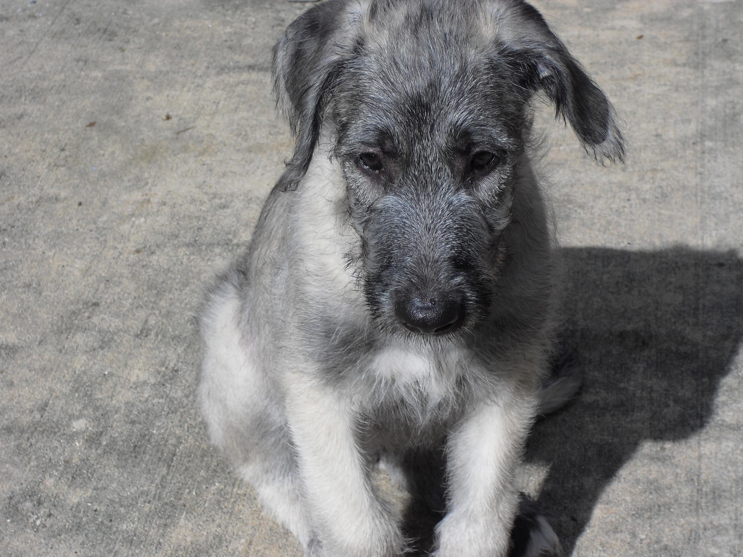Our New Irishwolfhound Pup...-cimg0173.jpg
