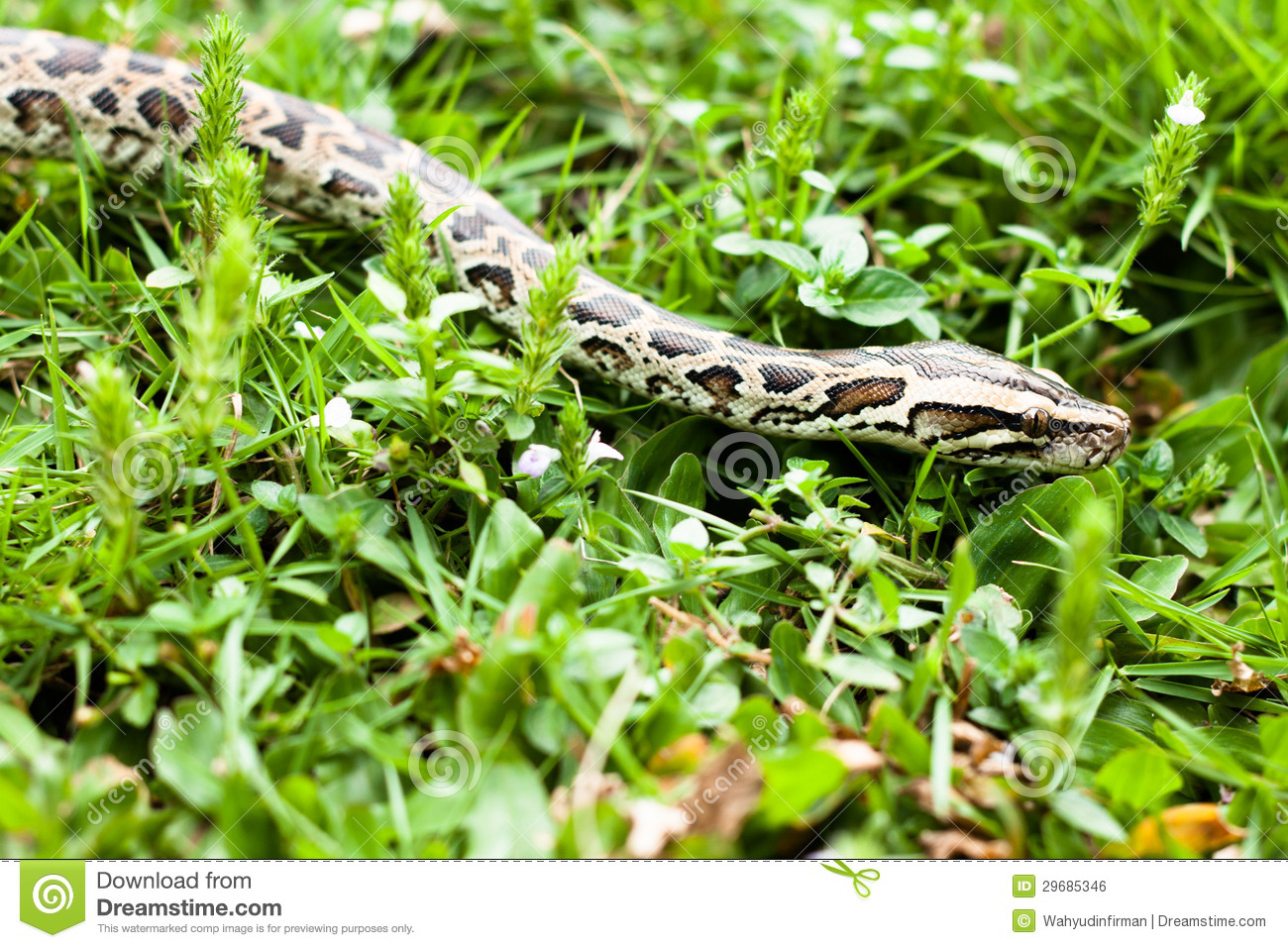 23 degrees in north Texas this morning-dangerous-animal-burmese-python-could-found-green-grasses-your-backyard-29685346.jpg