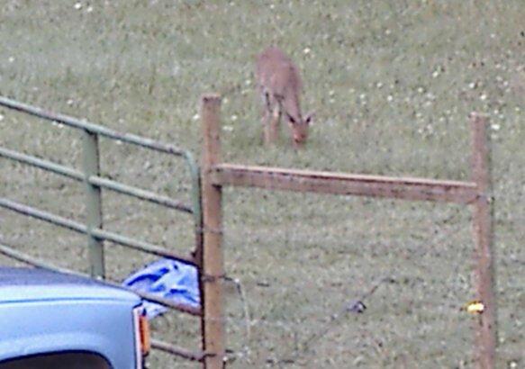 Situational awareness among prey animals-deer1.jpg