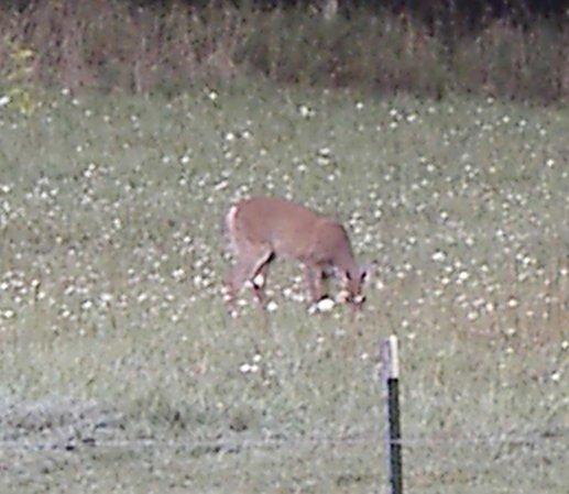 Situational awareness among prey animals-deer2.jpg