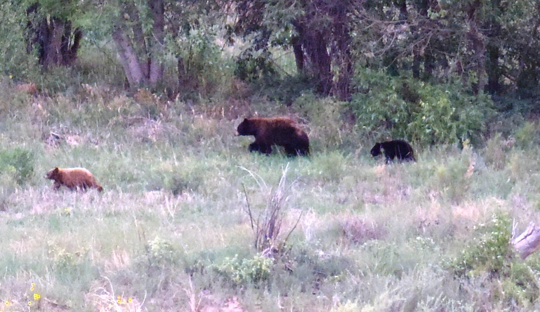 Rounds for predator defense?-edit-bear-2.jpg