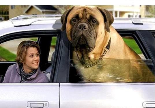 I love my dogs-englishmastiff.jpg