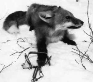 Fox getting chickens; have 20ga - which shells?-fox-trap-animal-rights-1085629_371_327_0.jpg