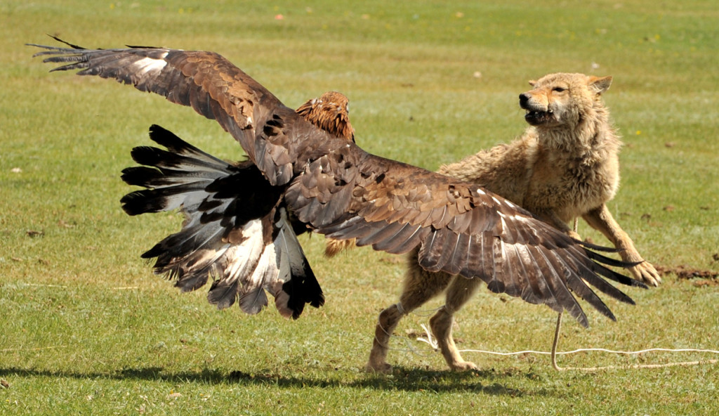 No Guns for Hunting?.... How about using Eagles!-golden-eagle-hunting-wolf-wallpaper-1024x592.jpg