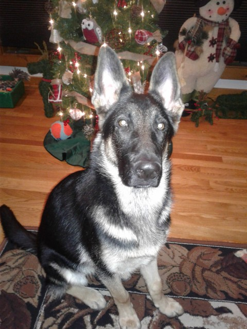 How About A Pet Picture Thread: Dogs, Cats, ...-holidaygsdpup.jpg