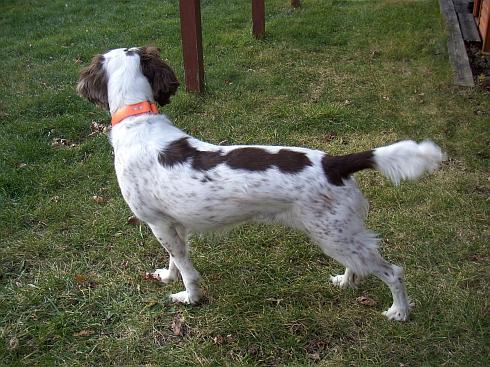 Upland Bird Dog-hpim2894.jpg