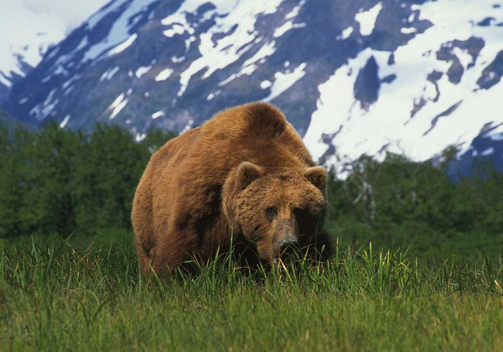 The .357 Stops The Kodiak Bear