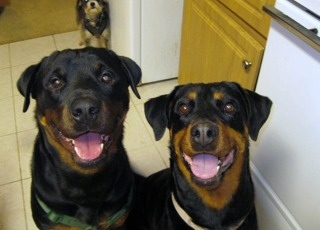 What kind of dog do you own? Are they a good watch/guard dog?-imageuploadedbytapatalk1357350952.650255.jpg