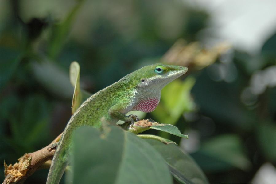 Critter pics / Pet Thread: Dial Up Beware-lizard.jpg