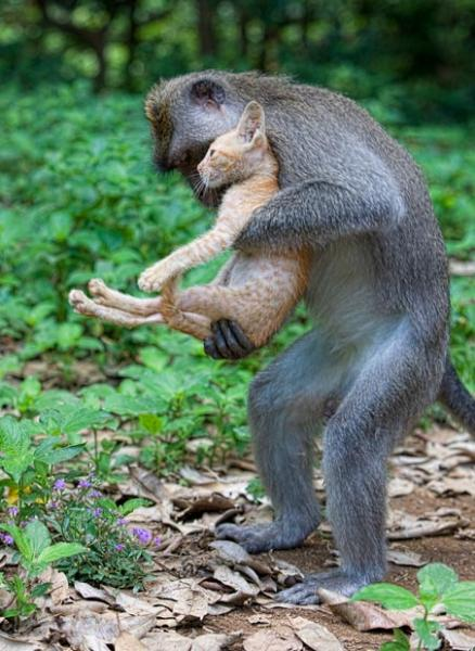 After 12 years of marriage...-long-tailed-macaque-monkey-adopts-kitten-carry-cat-like-human.jpg