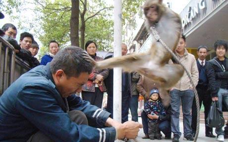 Attack monkeys-monkey_1544467c.jpg