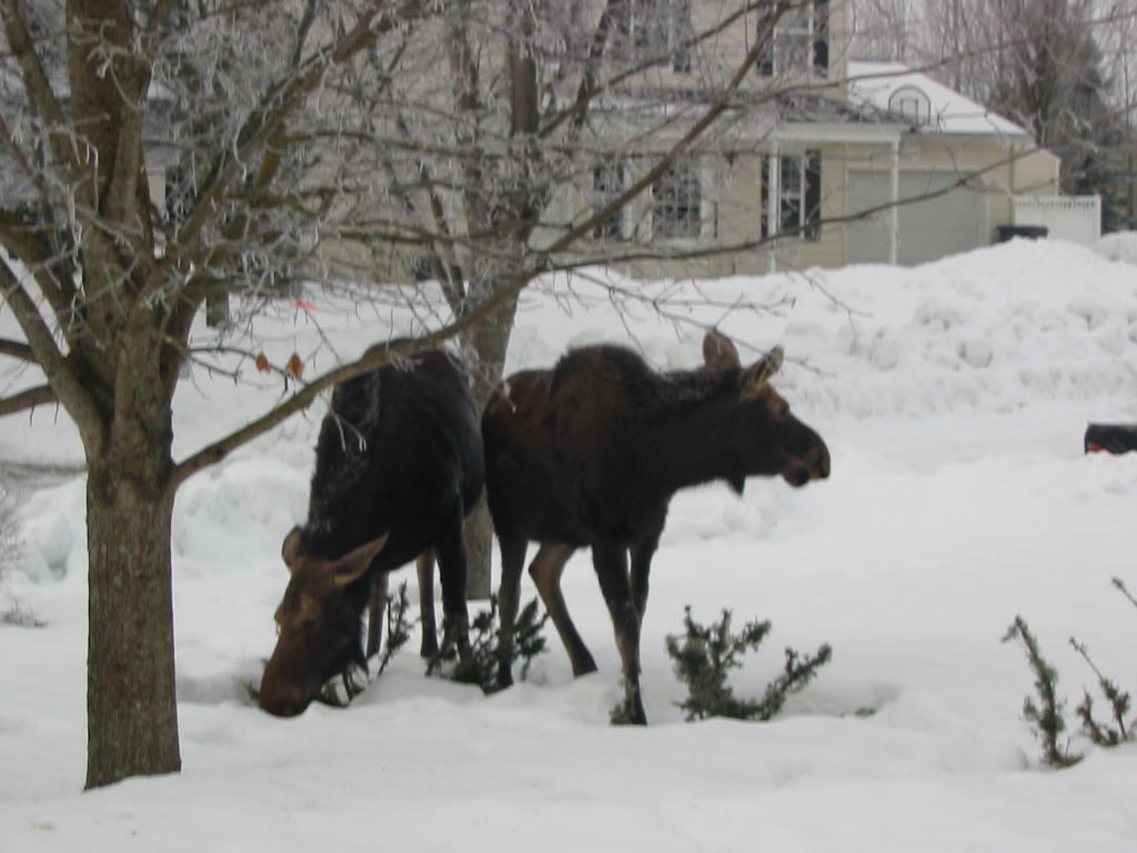 Crazy deer!-moose1a.jpg
