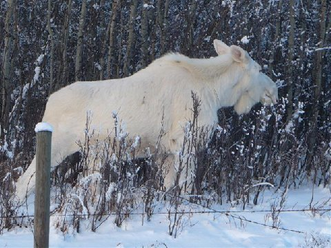 Really Good Pictures from Michigan (Snow Moose)-moose4.jpg