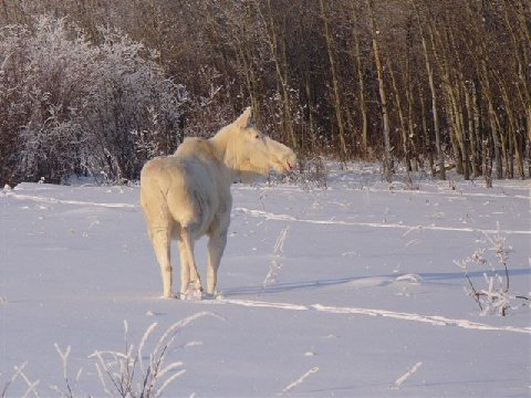 Really Good Pictures from Michigan (Snow Moose)-moose5.jpg