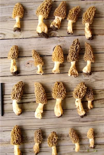 Only About Two Months Left to Wait...-morels01.jpg