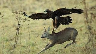 No Guns for Hunting?.... How about using Eagles!-mqdefault.jpg