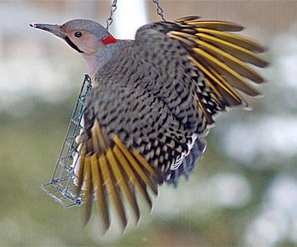 help identify a bird-northern_flicker_9.jpg