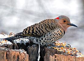 help identify a bird-northern_flicker_glamour.jpg