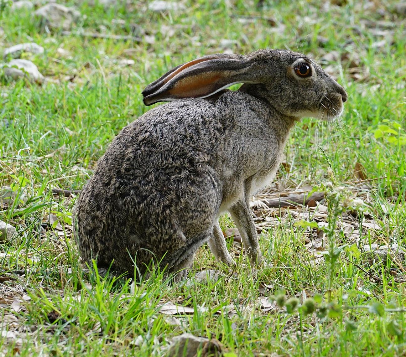 Deer attacks Kentucky Afield show members-our-animals-pic-jackrabbit-4.jpg