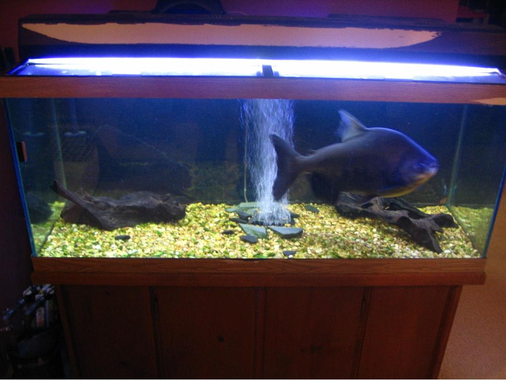 Let's see pics of the FISH that guards your front door...-pacu-2.jpg