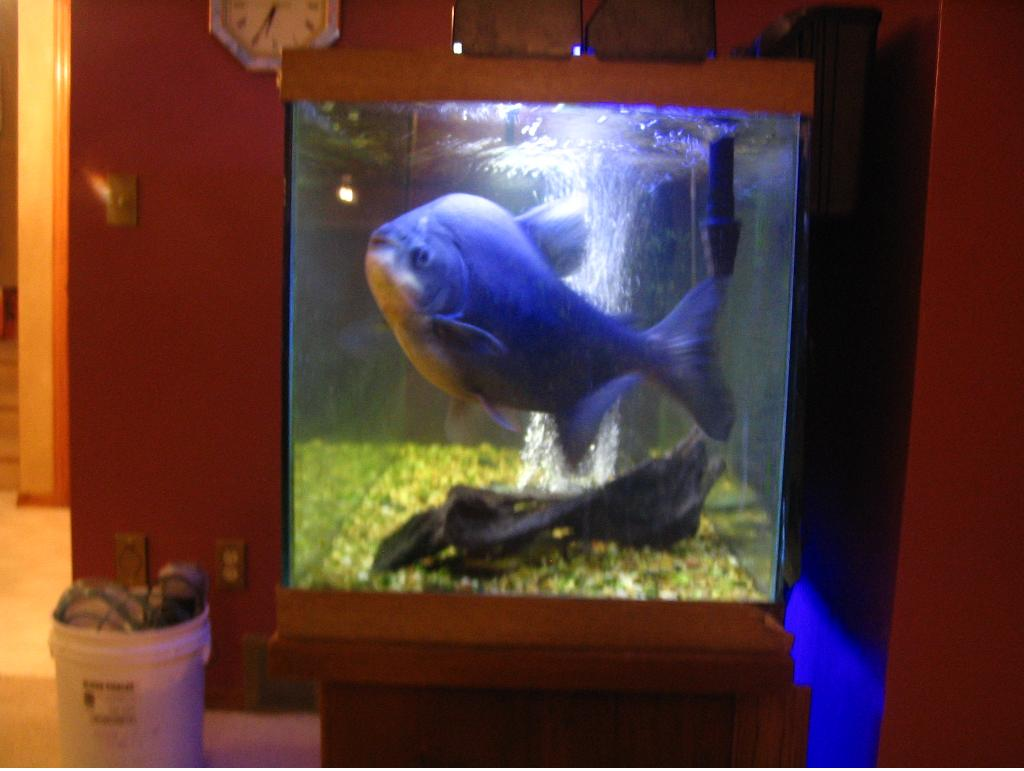 Let's see pics of the FISH that guards your front door...-pacu.jpg