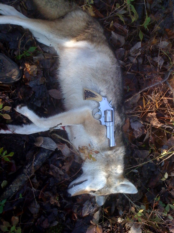 Coyote vs 357mag-photo.jpg