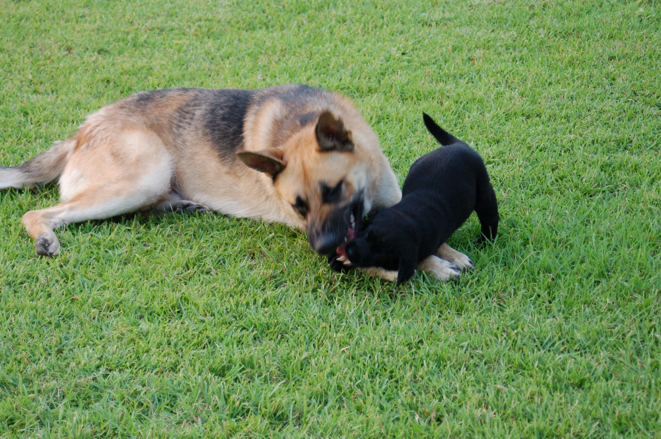 GOOD:  German shepherd stops attempted rape-picture-384.jpg