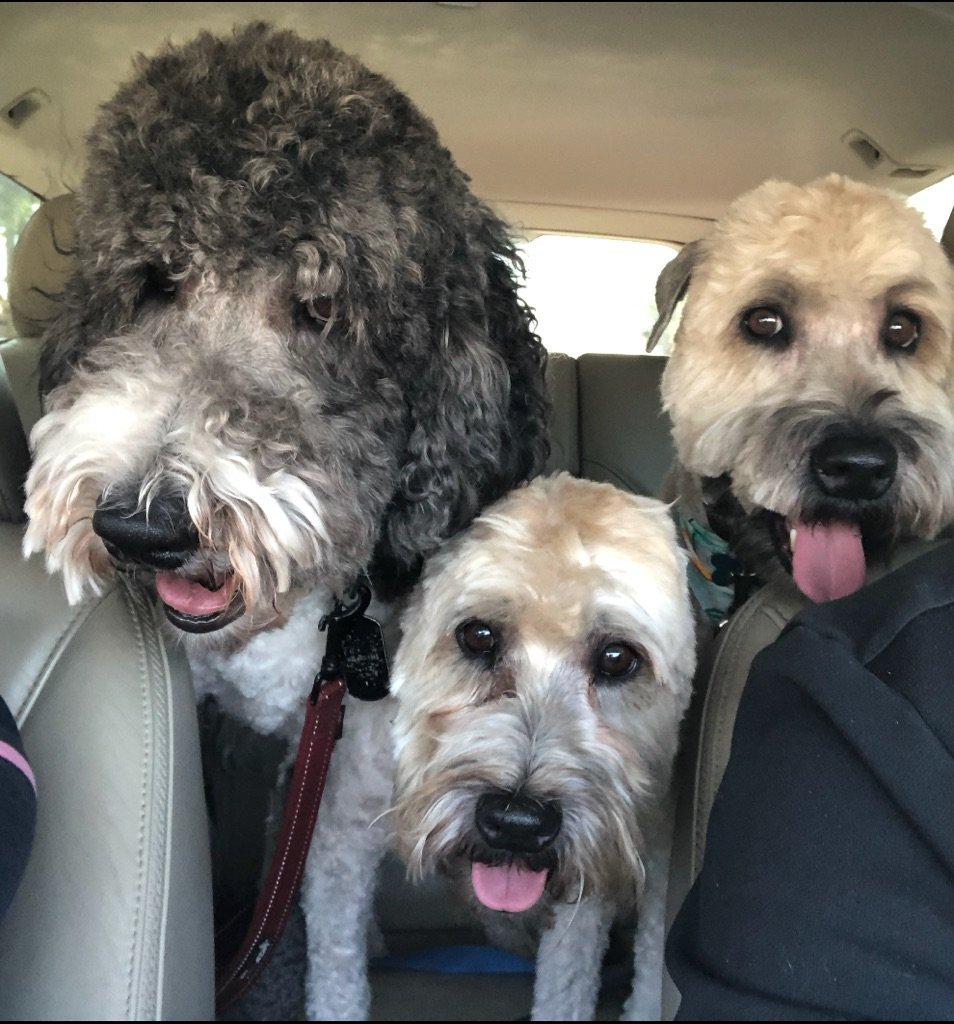 How About A Pet Picture Thread: Dogs, Cats, ...-post-grooming-4aug18r.jpg