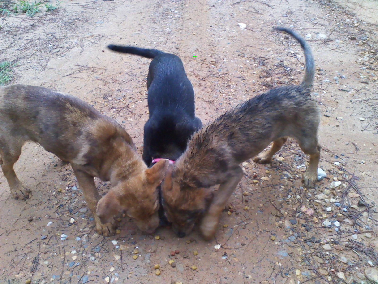 Three abandoned female puppies.-pups-3.jpg