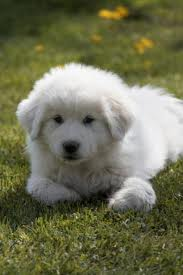 Loose convict-pyr-puppy.jpg