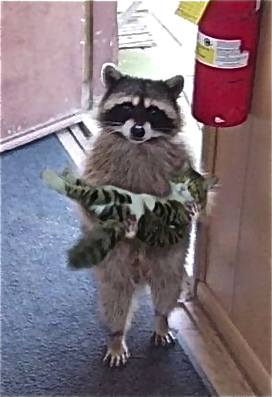 S'cuse me, ma'am, but did you lose a cat?-racoon-cat.jpg