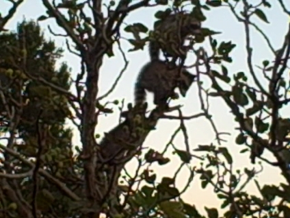 Photo proof of the raider's of our fig tree-racoons.jpg