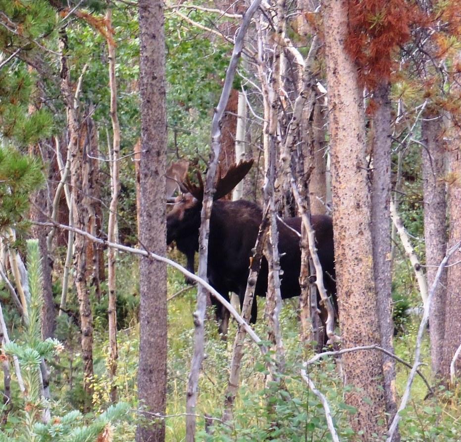Rounds for predator defense?-record-size-bull2.jpg